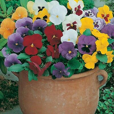 Mixed Early Giant - Winter Pansy Seed - 200 Seeds