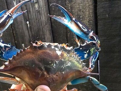 blue crab taxidermy Saltwater Mounts Labor Day Special