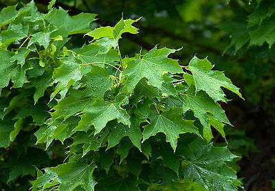 Acer Platanoides - Acero Riccio / Norway Maple, 10 Semi