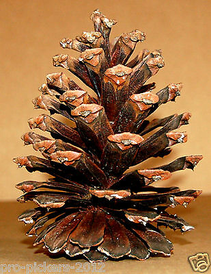 Jumbo Real North Carolina Pine Tree Cone Cones Decoration Craft Project Supplies