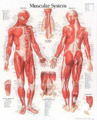 Muscular System With Male Figure Paper Poster by Scientific Publishing (English)