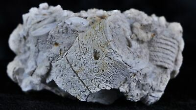 Quality Crinoid Stemsechinoderm Fossil Plate On Matrix Sea Lilly Crinoids