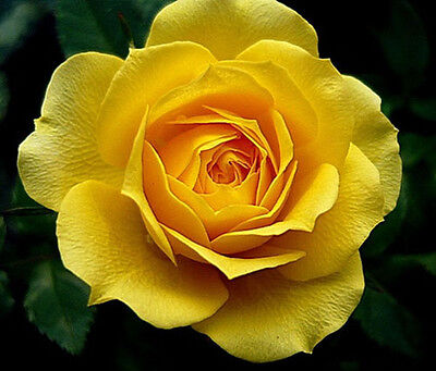Yellow Rose Flower Seeds Garden Plant, 25% Discount When Buy 2 Or More,