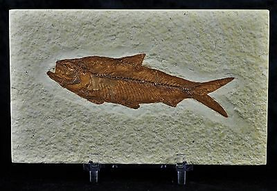 Knightia Eocaena Fossil Fish Green River Wy 3 1/2 In Long Free Stand, Shipping