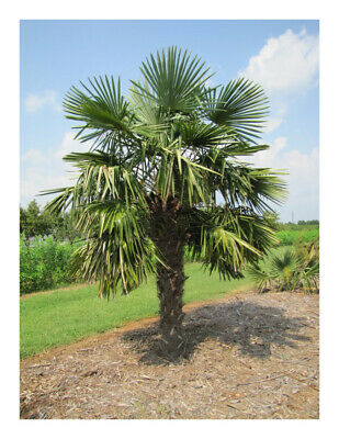 """Trachycarpus fortunei - Chinese Windmill Palm - Plant in 3.5"""" Pot"""