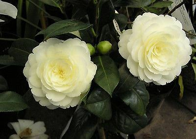"Camellia japonica Dahlohnega Syn. Golden Anniversary - Plant in 3.5"" Pot"