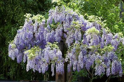Chinese Wisteria   (Wisteria sinensis)    7 Fresh Seeds