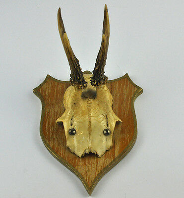 Deer Antlers Taxidermy Stag Buck Scull with Antlers Mounted on Shield