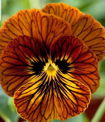 《 NEW 》Winter Pansy/Viola- Tiger Eye - Red - 25 Seeds - Large Flowered
