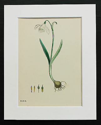 Snowdrop - Sowerby 1850 Antique Hand Coloured Botanical Print, Mounted