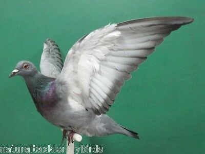 Wings Up Perched Gray Rock Dove Pigeon Real Bird Taxidermy Bird Mount