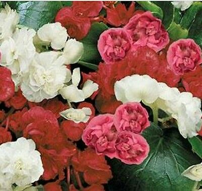 Begonia - Queen Mixed - 25 Seeds - Double Flower - Sow from Dec - Feb
