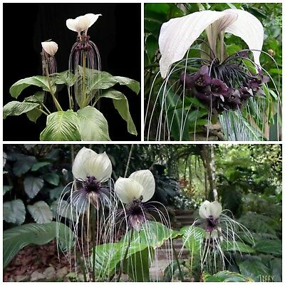 50 seeds of Tacca integrifolia ,Bat Plant or Devil Flower, C