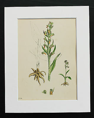 Frog Orchid - Sowerby 1850 Antique Hand Coloured Botanical Print, Mounted