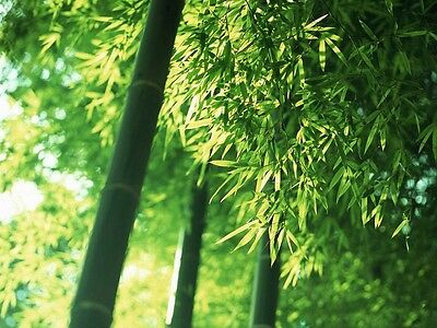 Moso Bamboo, Oriental Giant Bamboo, 25+ Fresh Seeds, Good Quality!