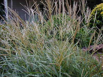 Miscanthus 'Yaku Jima'   ****SPECIAL END OF SEASON OFFER****