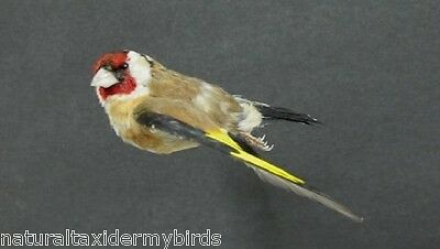 Flying European Goldfinch Real Bird Taxidermy Mount with Wings Out