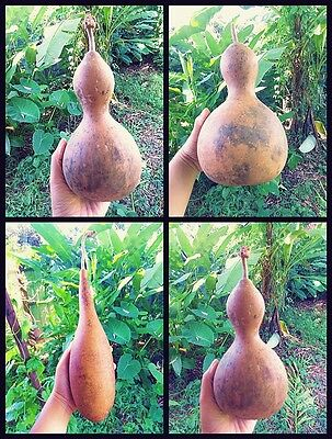 Gourds Dried High Cute Craft Rare Birdhouse Nature Decoration Country My Garden