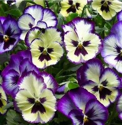 《NEW》Pansy Wonderfall Seeds - Trailing - Large Flowered - Winter Pansy -20 Seeds