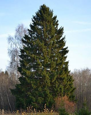Picea Abies - 50 / 250 / 500 / 1000 Seeds - Norway spruce Christmas Tree!