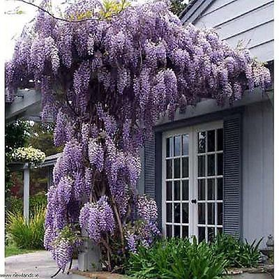 """Wisteria sinensis Prolific - Chinese Wisteria, Grafted Plant in 3.5"""" pot"""