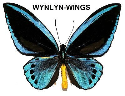 Insect Butterfly Moth Papilionidae Birdwing Ornithoptera urvillianus-Pair-Rare!!
