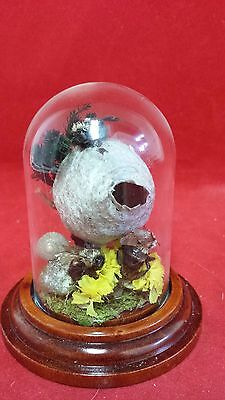 *4 Real Taxidermy Bees and Hive in glass Dome Display! insects-bee--bug--#2