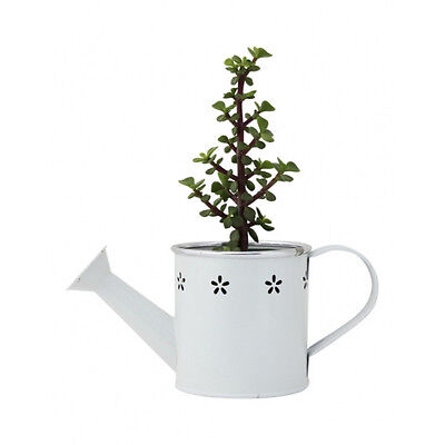 Home Decor Crassula Ovata Jade Money Tree Succulent Lucky Plant in Watering Can