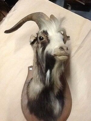 Taxidermy. A Mountain Goats head.