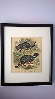 Antique Print Coloured Engraving The Amboyna & Indian Zibet C1875 Mounted Framed
