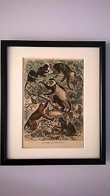 Antique Print Coloured Engraving The Guereza & Other Monkeys 1875 Mounted Framed
