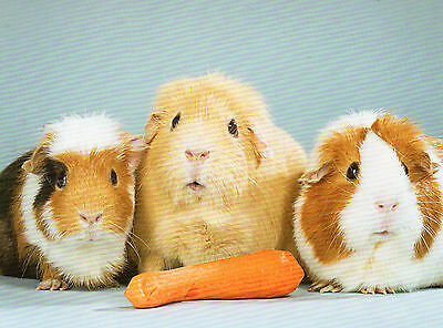3 Guinea Pigs with their carrot. featured on a FRIDGE MAGNET