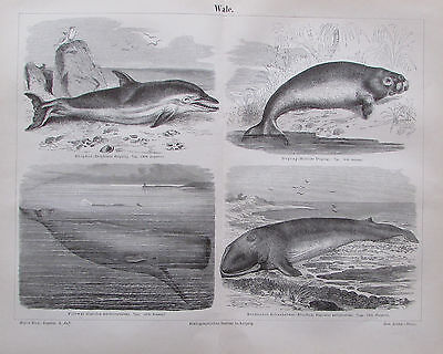 1890 WALE WHALES alter Druck Antique Print Lithografie Zoologie