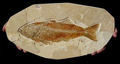 EXTINCTIONS- LARGE Predatory Green River Fossil Fish - MIOPLOSUS, GREAT DISPLAY!