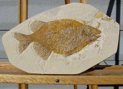 EXTINCTIONS- LARGE PREDATORY Phareodus Fossil Fish with Sharp Teeth, GREAT GIFT!