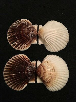 2 Argopecten irradians concentricus Say 71 mm & 75 mm New Jersey, USA Scallops