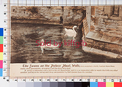 The swans on the Palace Moat Wells Somerset vintage postcard