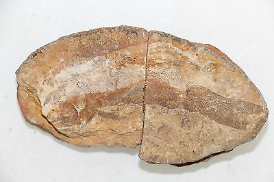 96mm  Well-preserved Million Year Old fish fossils YHS81