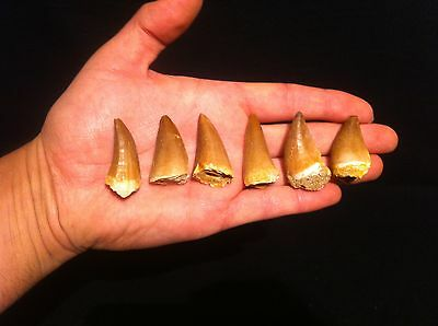 1x Dent de Mosasaure fossile / Fossil Tooth Mosasaur Mosasaurus!!