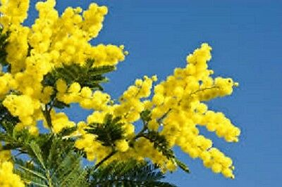 30 SEMI DI MIMOSA+ OMAGGI + GIFT + HOMMAGE . BELLISSIMO fresh seeds of italy