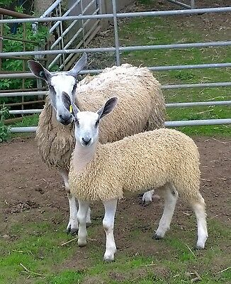 1kg Bluefaced Leicester Fleece