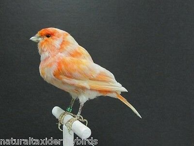 Salmon & White Canary Real Bird Taxidermy Bird Mount