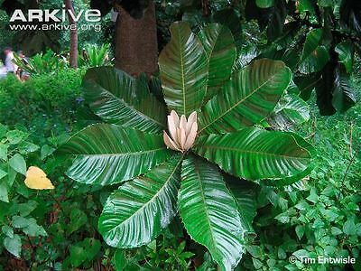 HALF PRICE SPECIAL *Chrysophyllum imperiale* amazing history; tropical fruit