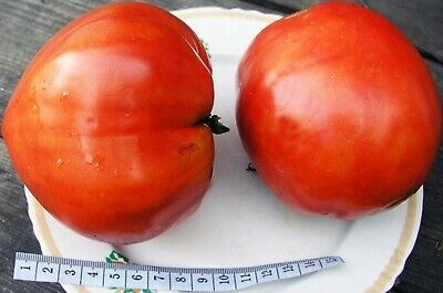 Rare Red Beefsteak Tomato Seeds Sprint Taymer - Timer Russian Heirloom NON-GMO