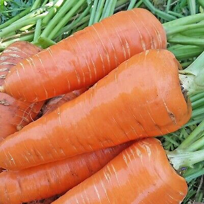 Carrot Seeds Moskovskaya Zimnyaya Moscow Winter Russian Heirloom NON GMO