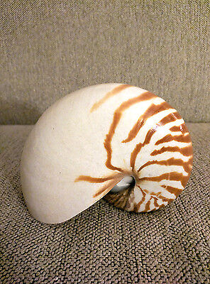 6 Inch Striped Tiger Nautilus Shell