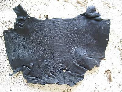 New Bufo Marinus Cane Toad Skin Leather Collectible Taxidermy Matte Black 6.5""