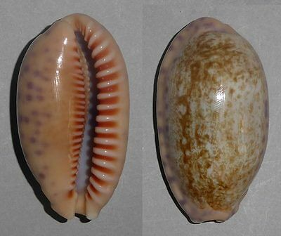Coquillage de collection : Cypraea chinensis (XL - 48 mm)
