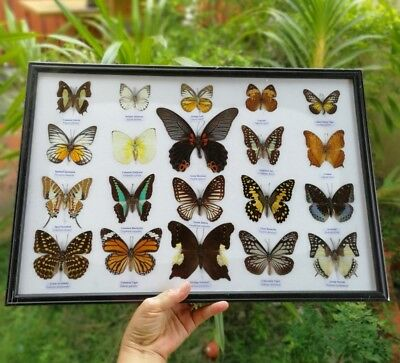 Taxidermy Butterflies Real 20 Mix Framed Display Insect Mounted Bug Box Gift