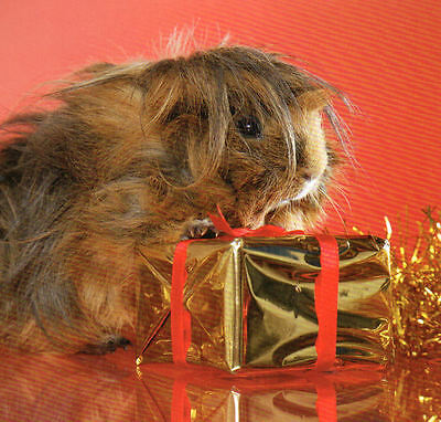 GUINEA PIG with a XMAS decoration, featured on a FRIDGE MAGNET